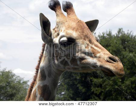 Headshot of Giraffe
