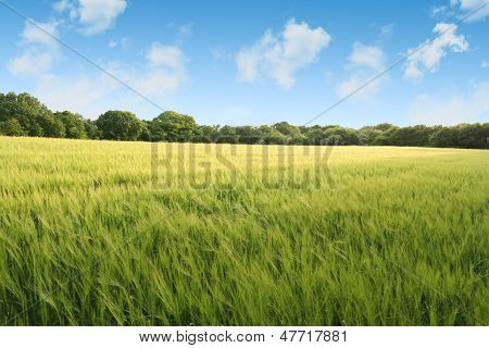 Corn field on a summers day