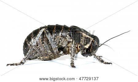 Bush cricket beetle Callimenus Macrogaster