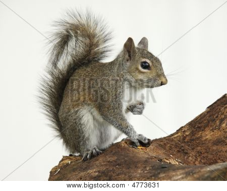 Brown Squirrel Sitting On A Log