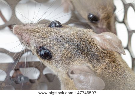 Rats In Trap Close Up