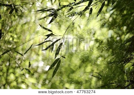 Bamboo forest,bamboo leaves in backlight.
