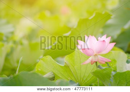 Morning lotus flower in the farm under warm sunlight.