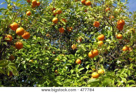 Orange Treenisumus