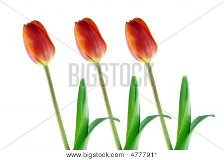 Three Red Tulips Isolated On White Background