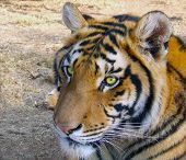 Pensive tiger watching people nearby with beady hungry eyes poster
