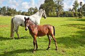 Riding school and breeding of thoroughbred horses. White horse with the foal. Green lawn for walking of Arabian horses poster