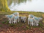 a group of lambs grazing on grass next to a tree and by the river poster