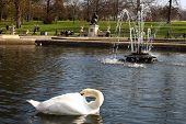 this is a swan in the hyde park in London poster