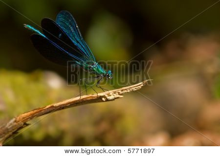 Metallic Blue Damselfly
