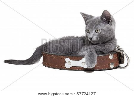 Kitten With A Collar