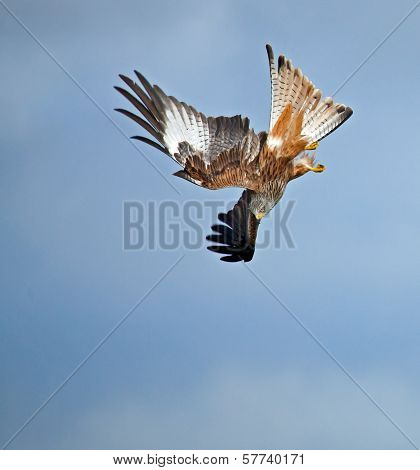 Red Kite Stooping