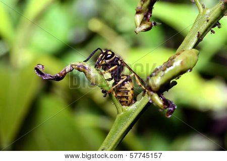 Vig Yellow Wasp