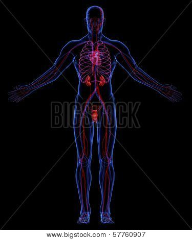 Systems of the human body. Human urinary and circulatory system poster