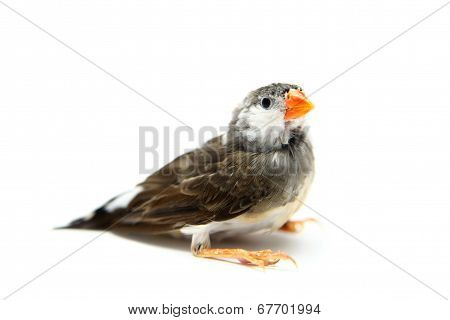 Zebra Finch on white