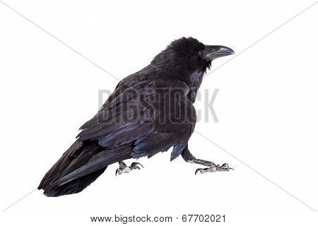 Common Raven isolated on white