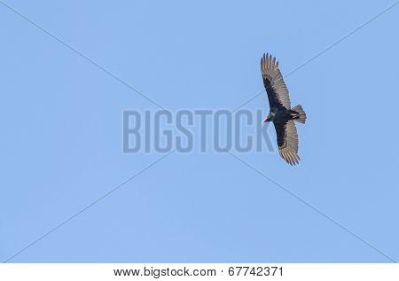 Flying turkey vulture, Peru