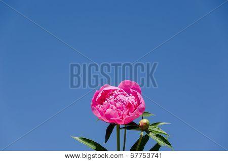 Peony Blossom On Blue Sky Background