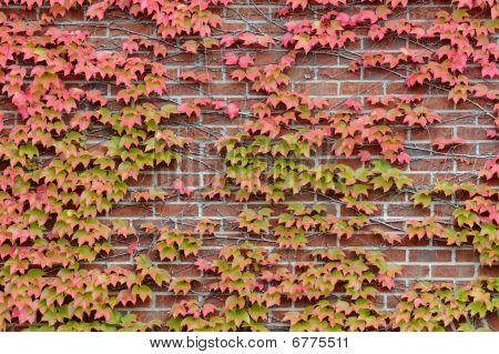 Vines of autumn leaves on brick wall