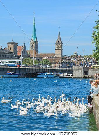 Swans On Lake Zurich