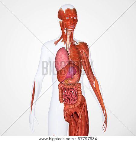musculoskeleta