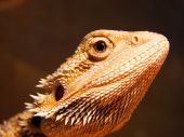 Bearded dragon on dark background in zoo poster