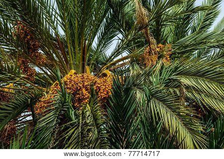 Ripe Dates On A Palm Tree, Morocco