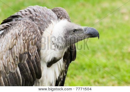 Griffon vulture in side angle view with green background poster