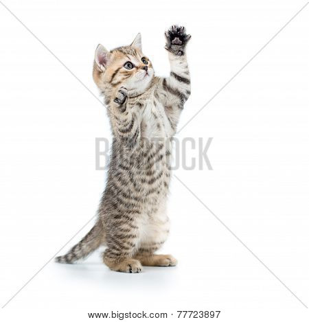 playful funny kitten looking up. isolated on white background