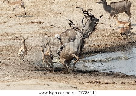 unsuccessful crocodile attack on antilops kudu and Impala Hwange national park Matabeleland North Zimbabwe poster