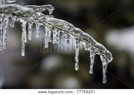 Long icicles hanging from ice covered frozen cedar tree branch in winter, closeup