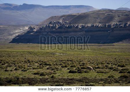Peruvian Altiplano With Alpaca