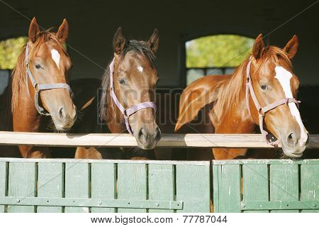 Purebred Mares In The Barn