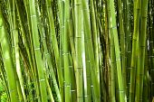 Lush and dense green bamboo grove in a park poster