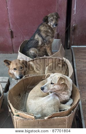 Roving Stray Dogs Sleeping In Cardboard Boxes