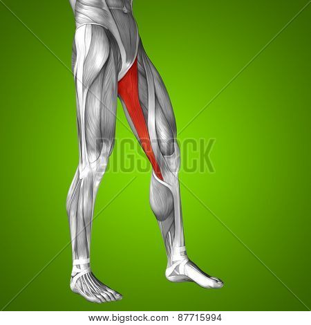 Concept or conceptual 3D gracilis human upper leg anatomy or anatomical and muscle on green gradient background