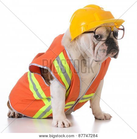 working dog - bulldog dressed up like construction worker on white background