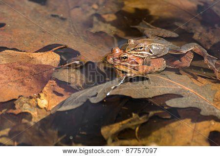 Breeding Wood Frogs