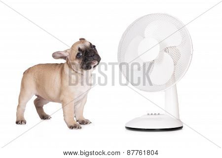 french bulldog puppy and a fan