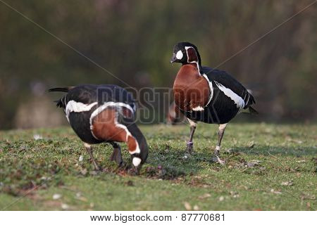 Red-breasted Geese (branta Ruficollis)