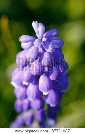 Close-up of blue hyacinth flower