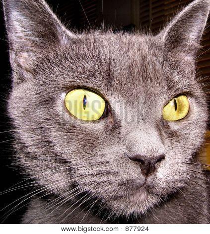 poster of cat feline kitty russian blue animal pet eyes green wallpaper background alert large eyes