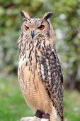 Indian eagle-owl also called the rock eagle-owl or Bengal eagle-owl Bubo bengalensis poster