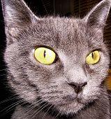 cat feline kitty russian blue animal pet eyes green wallpaper background alert large eyes poster