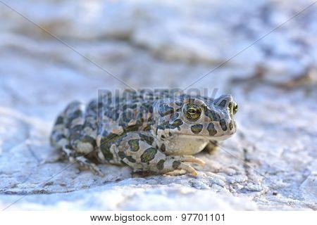 European Green Toad (Bufo viridis) on rocks