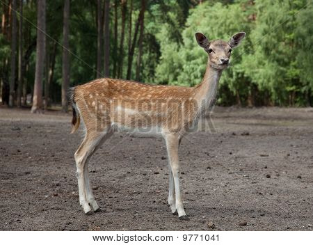 Watchful and very cute young deer in the forest poster