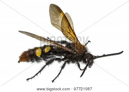 Scolia Flavifrons (lat. Scoliidae), Isolated On White Background