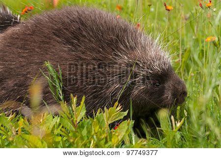 Porcupine (Erethizon dorsatum) Side in Grass - captive animal poster