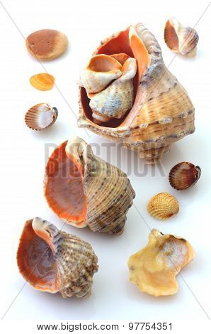 Shells and Rapana isolated on white