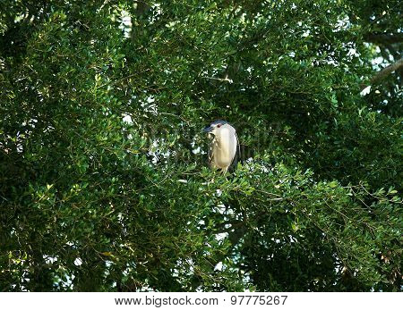 Black crowned night heron. Nycticorax nycticorax